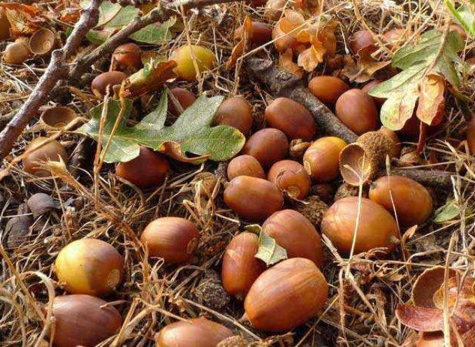 La Ghianda, frutto da riscoprire.