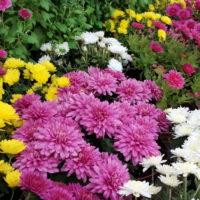 Crisantemi, riparte la vendita; nella Piana il più grande produttore della Toscana