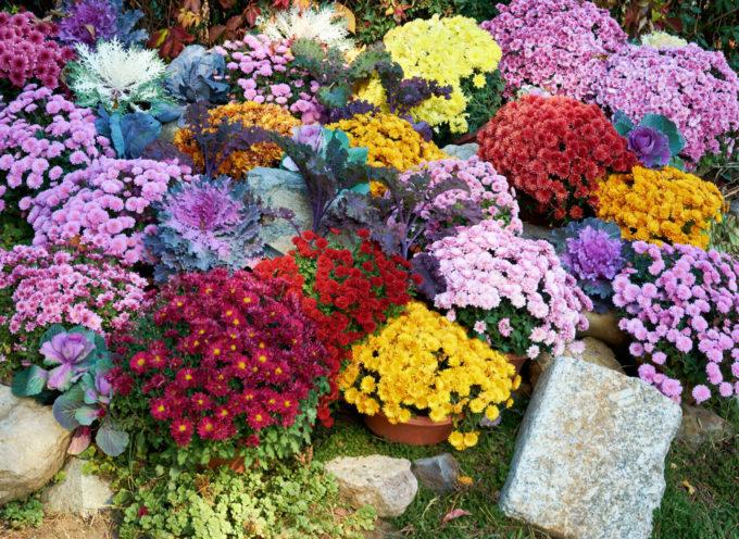 Crisantemo: perché in Italia è considerato il fiore dei morti?